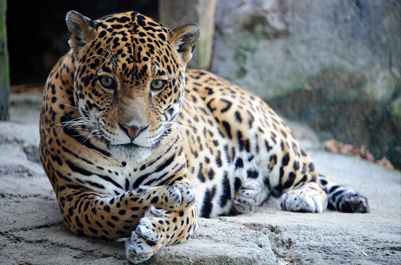 Jaguar by Eric Kilby