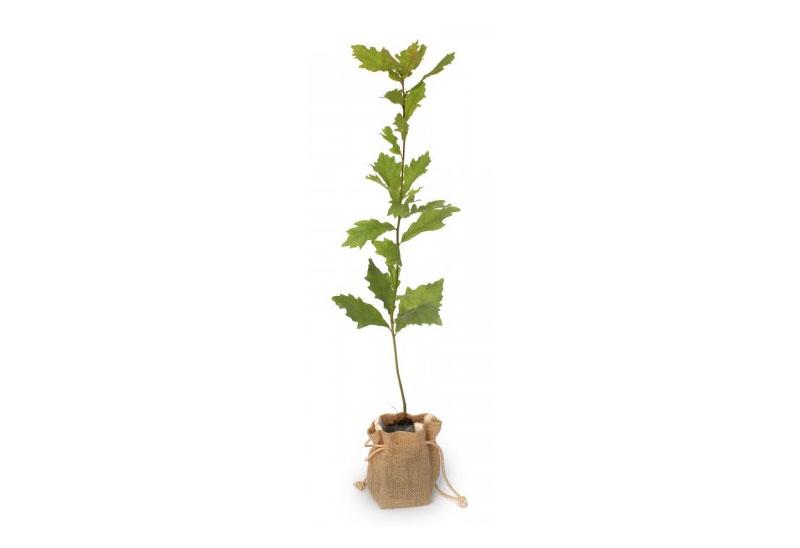 Oak Tree Gift